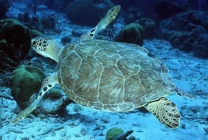 #OceanProtection pays off for green sea #turtles ~ Posted on April 30, 2013 by Bob Berwyn | Rescue our Ocean's & it's species from Man's Pollution! | Scoop.it
