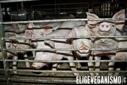 Activistas de Elige Veganismo se infiltraron en planta de Cerdos ... - El Nortero | Activismo en la RED | Scoop.it