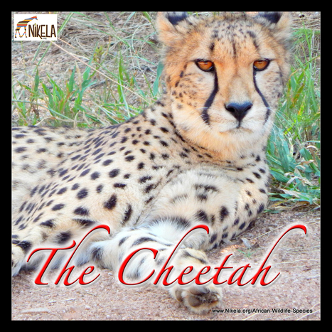 Cheetahs Unable to Outrun the Danger | Wildlife Conservation: People and Stories | Scoop.it