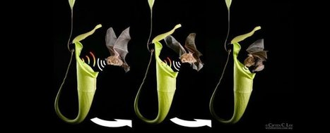 A carnivorous plant has learnt how to communicate with bats | Popular Science | Scoop.it
