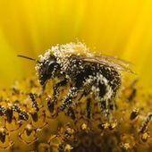 En Europe, le déclin des abeilles frappe lourdement les pays du Nord | Voyages et Gastronomie depuis la Bretagne vers d'autres terroirs | Scoop.it