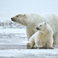 'Trophy' polar bear kills spark debate in US Senate | Trophy Hunting: It's Impact on Wildlife and People | Scoop.it