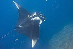 First Satellite Tag Study For Manta Rays Reveals Habits And Hidden Journeys Of Ocean Giants | Indigo Scuba | Scoop.it