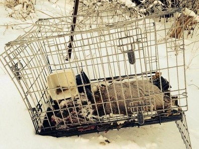 Necropsy reveals that pup found in the snow had been shot and abused | Nature Animals humankind | Scoop.it