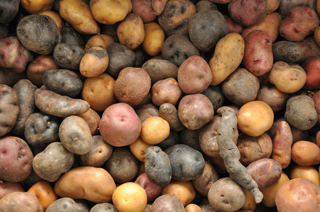 Uber Tubers: Welcome to the International Potato Center - Modern Farmer | Agricultural Biodiversity | Scoop.it