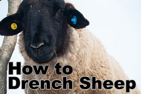 """""""In this tutorial we will be covering the drenching (deworming) of sheep and lambs. We will cover what drenching is, types of drench, how to safely administer them, and we will cover drench resista... 