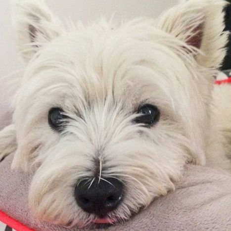World-first veterinary science app to help every dog have its day | West Highland White Terrier | Scoop.it