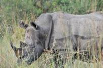 South Africa rhino poaching toll jumps | Kruger & African Wildlife | Scoop.it