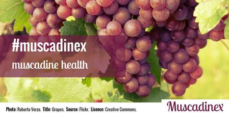 Want to know more about the Magnificient Muscadine Grapes? | Muscadinex Longevity | Scoop.it