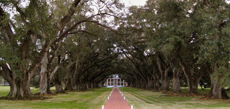 The Southern live oak (Quercus virginiana) | Oak Alley Plantation: Things to see! | Scoop.it