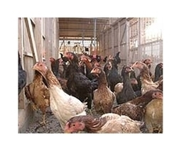 Mexico destroys 8 mn chickens amid bird flu outbreak   Sustain Our Earth   Scoop.it
