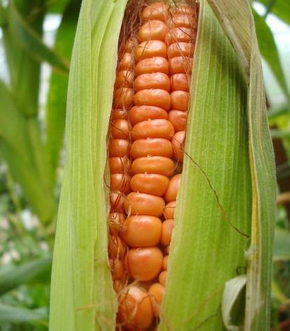 Cultivos transgénicos que pueden eliminar alerg... | Somos lo que comemos | Scoop.it