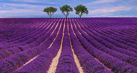 Comment sauver la lavande de Provence. | F&FNews | Scoop.it