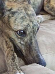 Lisa Shearin Group Series Greyhound Adoption | Lisa Shearin | Scoop.it