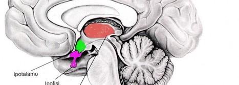 Neuroscienze.net | Rivista di Neuroscienze, Psicologia e Scienze Cognitive | Neuroscienze | Scoop.it