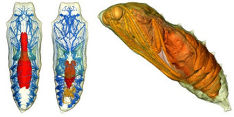 Micro-CT :: Scanning 3D Rivela Bruchi Che Diventano Farfalle | LoScientifico | Scoop.it