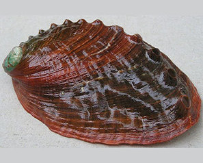 FIS - Worldnews - Conservationists to sue NMFS over protection of pinto abalone | One World Enviromentalism | Scoop.it