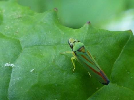Global : Hémiptères du Québec - Hemiptera - Punaise - Puceron - Cigale - Fulgore - Cicadelle - Membracide - Psylle - Aleurode - Cochenille - Cercope - Bug - Aphid - Cicada - Planthopper - Leafhoppe...   Fauna Free Pics - Public Domain - Photos gratuites d'animaux   Scoop.it