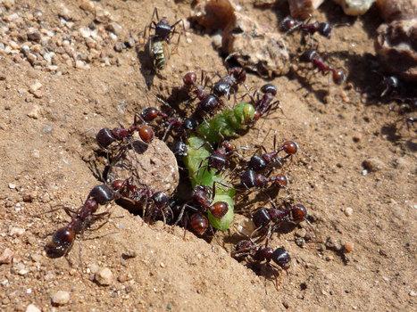 Découvrez comment les fourmis transmettent leur savoir-faire de génération en génération pour construire leur nid   Biodiversité   Scoop.it