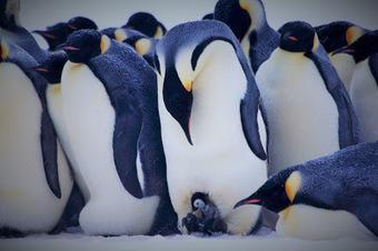Les Aventures de Stéphane en #Antarctique: Les poupoux! #manchot #poussin #TAAF | Arctique et Antarctique | Scoop.it