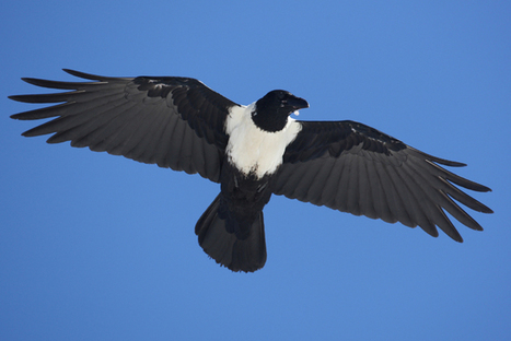 How climate change is causing pied crow numbers to soar in SA | Virology News | Scoop.it