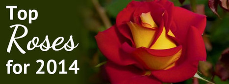Top 10 Rose Varieties for 2014 in the South / Pike Nurseries | All Things Rose | Scoop.it