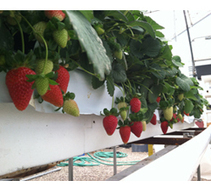 Arizona project explores hydroponic strawberry production | The Grower | CALS in the News | Scoop.it
