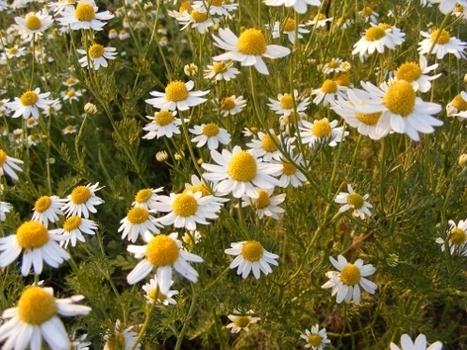 Chamomile Consumption and Mortality: A Prospective Study of Mexican Origin Older Adults. - PubMed - NCBI | Vitae Herbae | Scoop.it
