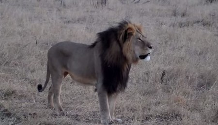 Cecil, le lion à la crinière noire du Zimbabwe, tué pour 50 000 euros | Nature Animals humankind | Scoop.it
