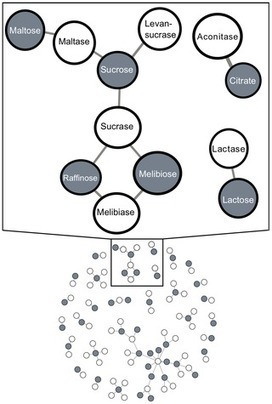 Coevolution Trumps Pleiotropy: Carbon Assimilation Traits Are Independent of Metabolic Network Structure in Budding Yeast   Social Foraging   Scoop.it