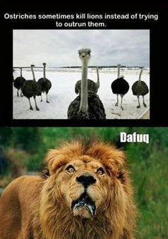 Teasing Times: Ostrich kills LionTeasing Times: We are here to make you laugh | Teasing Times | Scoop.it
