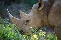 SA arrests three more rhino poachers | What's Happening to Africa's Rhino? | Scoop.it