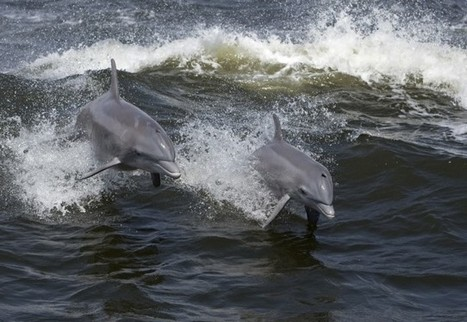 Study Links Record #Dolphin Die-Off In The Gulf Of Mexico To Deepwater Horizon Spill aka #BP | Messenger for mother Earth | Scoop.it