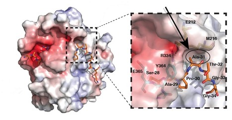 Unravelling a mystery in histones shows how gene activity is inherited   Amazing Science   Scoop.it