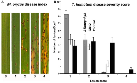 Investigating the beneficial traits of Trichoderma hamatum GD12 for sustainable agriculture—insights from genomics | Biocontrol | Scoop.it