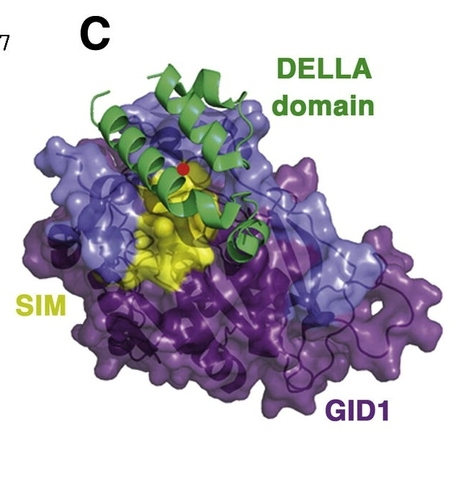 DevCell: Small Ubiquitin-like Modifier Protein SUMO Enables Plants to Control Growth Independently of Gibberellin | Plant Biology Teaching Resources (Higher Education) | Scoop.it