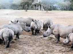 New rhino laws gazetted - Crime & Courts | IOL News | IOL.co.za | Content Ideas for the Breakfaststack | Scoop.it