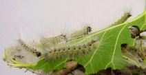 Leaves communicate pest damage: plants | Social Foraging | Scoop.it