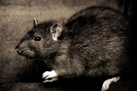 New campaign offers drinks for dead rats | No Such Thing As The News | Scoop.it