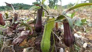 Cette plante carnivore se sert de la pluie pour piéger ses proies | EntomoNews | Scoop.it
