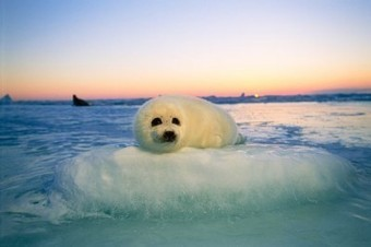 Canadian Annual Seal Hunt Begins In Canada, North America | Global Animal | Nature Animals humankind | Scoop.it