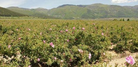 Huile essentielle vs absolue de rose: 3 différences | La Cabane aux Arômes | Scoop.it