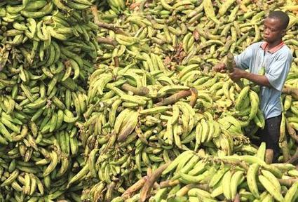La Côte d'Ivoire perd son rang de 1er producteur africain de bananes au profit du Cameroun | Agroalimentaire des Pays du Sud | Scoop.it