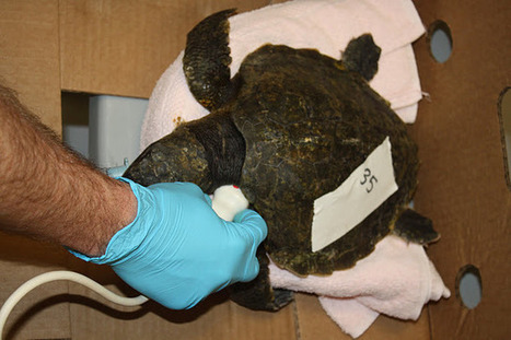 Marine Animal Rescue Team Blog: Will Phoenix Rise From the Ashes? | Marine Biology | Scoop.it