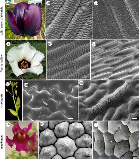 Buckling as an origin of ordered cuticular patterns in flower petals | Erba Volant - Applied Plant Science | Scoop.it