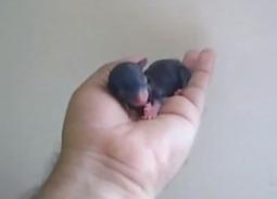 Amazing Newborn Teacup Chihuahua | Video Burglar | Teacup Chihuahua | Scoop.it