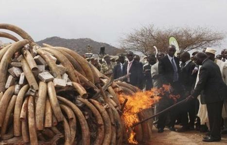 Éléphants d'Afrique: Rétablir le commerce de l'ivoire, une manière de lutter contre le trafic? | Biodiversité | Scoop.it