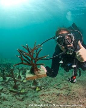Coral Transplants Offer Hope to Threatened Reefs | Indigo Scuba | Scoop.it