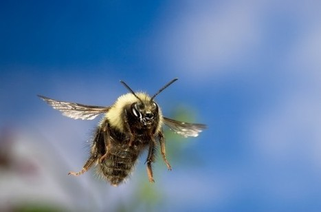 Bumblebees Can Fly Higher Than Mount Everest, Scientists Find | Pollinator conservation and diversity | Scoop.it