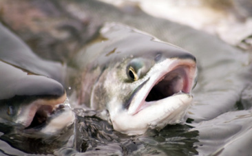 Thousands of Farmed Salmon Are On the Loose Near Norway | Global Aquaculture News & Events | Scoop.it